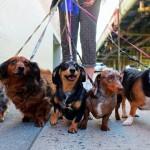Paseador de perros en Irlanda (Dog Walker)